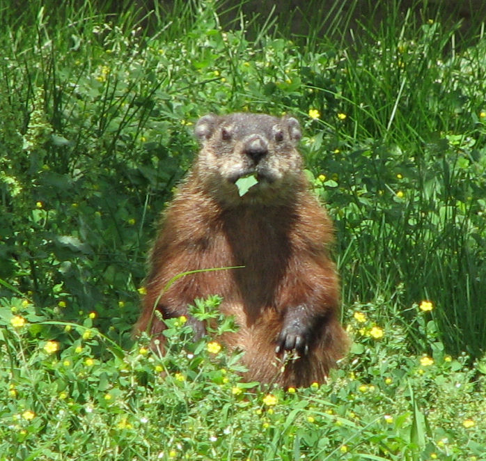 Groundhog,_eating.jpg