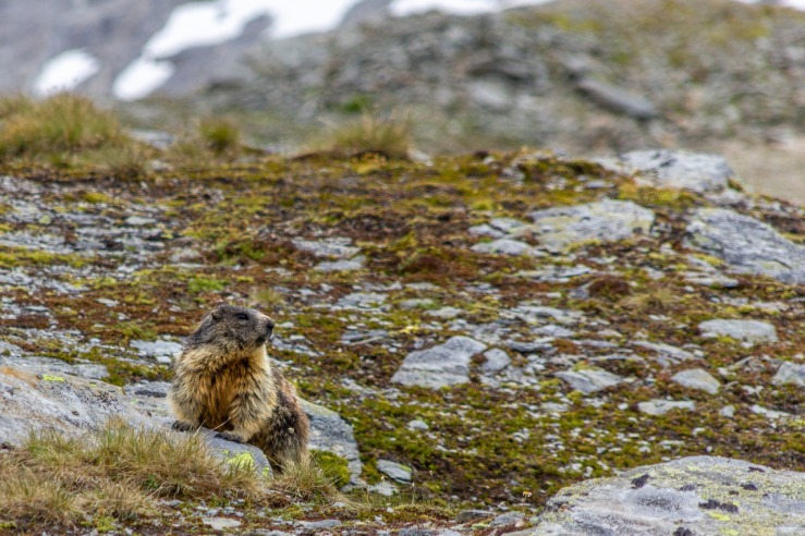 marmot-4526684_1280.jpg